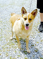 Lynn Atkins/The Weekly Vista<br /> Lucy is about four years old and very affectionate. She's a spayed female Red Heeler who gets along well with other dogs and cats, Bella Vista Animal Shelter staff said. To adopt any of the dogs or cats at the shelter, visit 32 Bella Vista Way or call 479-855-6020.