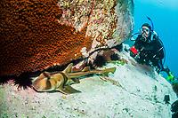 woman scuba diver and Port Jackson shark, Heterodontus portusjacksoni, endemic, Montague Island, Narooma, New South Wales, Australia, South Pacific Ocean, MR