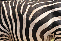 Close-up of the stripes of a Grant's Zebra, Equus quagga boehmi, in Tarangire National Park, Tanzania