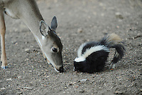 White-tailed Deer (Odocoileus virginianus) Striped Skunk (Mephitis mephitis), feeding, New Braunfels, San Antonio, Hill Country, Central Texas, USA