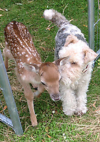 BNPS.co.uk (01202 558833)<br /> Pic: EleanorHervey-Bathurst/BNPS<br /> <br /> Inchy with terrier Greta not long after he was rescued after being attacked by another deer shortly after he was born.<br /> <br /> Animal Magic - Eleanor Hervey-Bathurst has hand reared fallow deer buck 'Inchy' after she was abandoned by her mother shortly after being born five years ago.<br /> <br /> The beautiful animal now leads a dual life, living with the rest of its herd on the Hervey-Bathurst estate near Basingstoke most of the time, but still perfectly tame and friendly with law student Eleanor and the family terrier Greta.