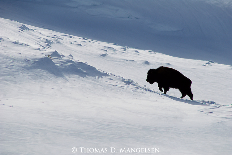 A bison trudges to the top of a ridge in search of forage exposed by the   wind in Yellowstone National Park, Wyoming.