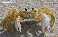 0604-0910  Ghost Crab (Sand Crab) on Beach at Outer Banks in North Carolina, Ocypode quadrata  © David Kuhn/Dwight Kuhn Photography