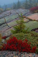 Spruce (Picea sp.) and Blueberry, Cadillac Mountain, Acadia National Park, Maine.