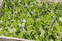 Himbeer-Blätter, Himbeerblätter gesammelt, Ernte, auf einem Tablett ausgelegt zum Trocknen, Wilde Himbeere, junge, zarte Blätter vor der Blüte, Rubus idaeus, Raspberry, Rasp-berry