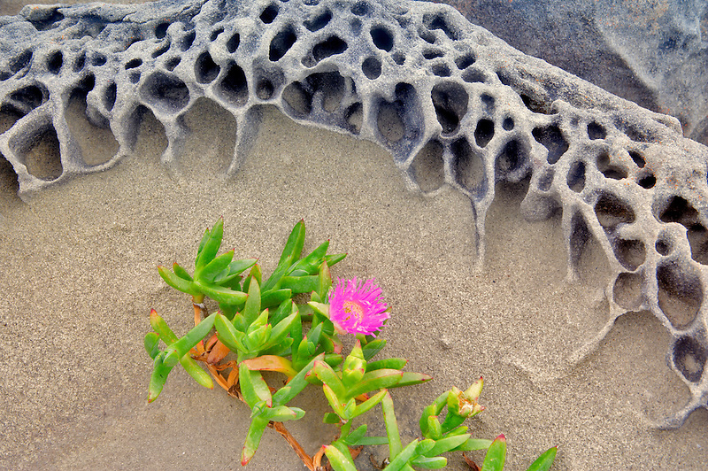 Blooming ice plant in sandstone formation. Salt Point State Park. California
