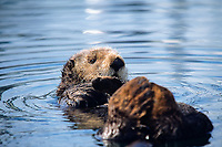 southern sea otter, enhydra lutris nereis, resting, note fore and hind legs are kept uot of water and crossed to keep warm, monterey, california, USA, pacific ocean, national marine sanctuary, endangered species