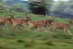 Axis deer in motion, India