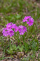 Mehlprimel, Mehl-Primel, Mehlige Schlüsselblume, Mehlpriemel, Primula farinosa, bird's-eye primrose