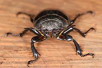 Hirschkäfer, Hornschröter, Weibchen, Lucanus cervus, European stag beetle, stag-beetle