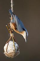 Kleiber, selbstgemachtes Vogelfutter in einem Körbchen aus Weidenzweigen, Weidenkörbchen, Vogelfütterung, Fütterung, Fettfuttermischung, Fettfutter, Meisenknödel, bird's feeding, Spechtmeise, Sitta europaea, Nuthatch, Sittelle torchepot