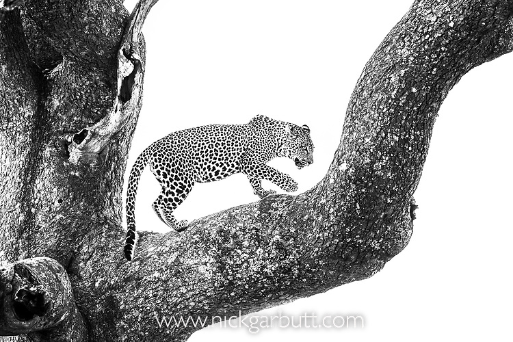 Male leopard (Panthera pardus) on tree branch. Ngorongoro Conservation Area (NCA) / Serengeti National Park, Tanzania.