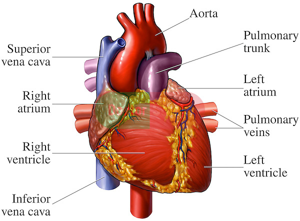 This medical exhibit pictures an anterior (front) view of the heart anatomy with labels for the aorta, superior vena cava, right atrium, right ventricle, inferior vena cava, pulmonary trunk, left atrium, pulmonary veins and left ventricle.