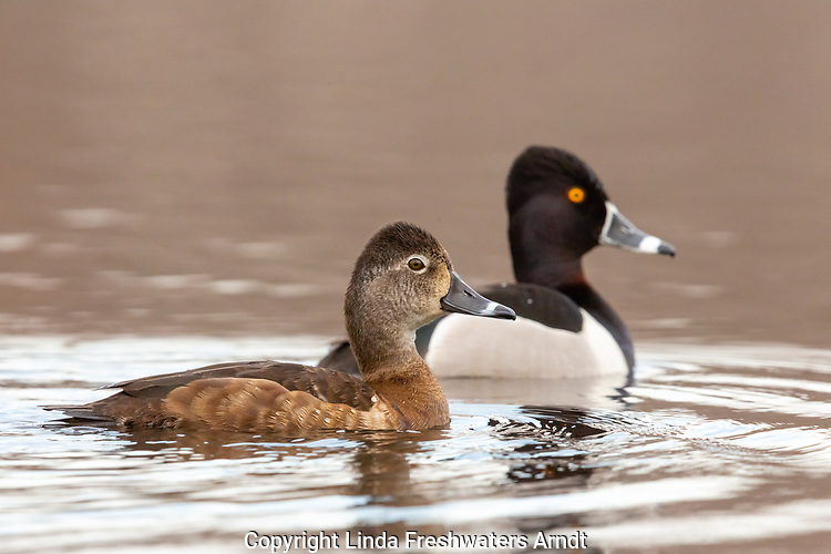 Pair of ring-necked ducks swimming in northern Wisconsin.