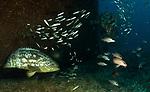 Goliath Grouper Migration; Epinephelus itajara, Sept 2013; MV Caster Wreck; Florida; USA; Amazing Underwater Photography; Marine behavior