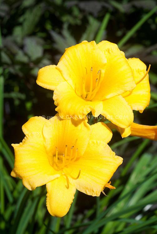 Hemerocallis Stella d'Oro in yellow gold bloom in summer flowers, daylilies
