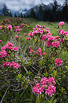 Alpenrose (Rhododendron ferrugineum) in flower. Nordtirol, Tirol, Austrian Alps, Austria, 2300 metres, July.