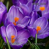 Gisela, FLOWERS, BLUMEN, FLORES, photos+++++,DTGK2332,#F#, EVERYDAY