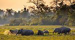 India, Assam, Kaziranga National Park, Asian elephants (Elephas maximus) wade in the marshes created by the mighty Brahmaputra River<br /> <br /> Canon EOS 5D Mark IV, EF100-400mm f/4.5-5.6L IS II USM lens + 1.4x, f/8 for 1/400 second, ISO 500