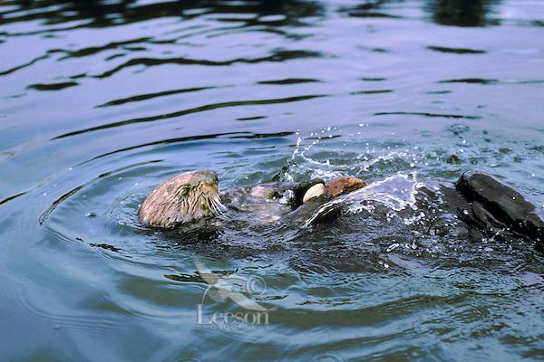 Sea otter using tool--cracking clam on rock.  California coast.