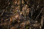 Balkan Lynx (Lynx lynx balcanicus) female, Mavrovo National Park, North Macedonia