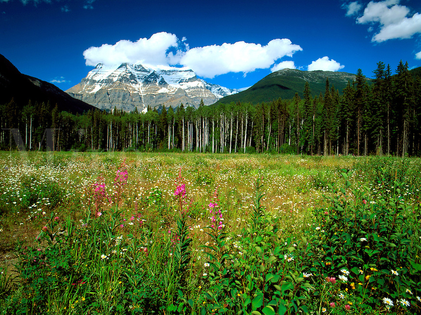 Art in Nature 9607-0120 - Mount Robson, the highest peak in British Columbia is surrounded by cumulus clouds as it provides a background for a meadow of summer wildflowers. Northern Rocky Mountains, British Columbia, Canada.