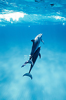 Atlantic Spotted dolphin, Stenella frontalis, Caribbean, Bahamas, Little Bahama Bank, An Atlantic Spotted Dolphin playing with a bandana offered by snorkelers. Mammal