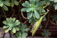 Milano. Mantide, Mantis religiosa (circa 8 cm di lunghezza)