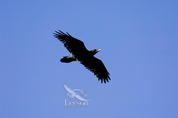 Common Raven (Corvus corax) flying.