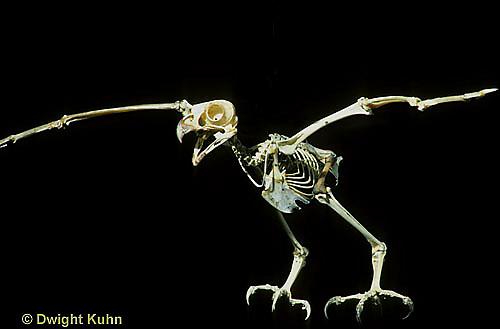 OW14-007a  Great Horned Owl - skeleton -  Bubo virginianus