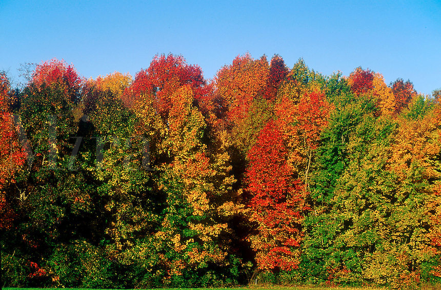 Colorful fall foliage on New England trees.