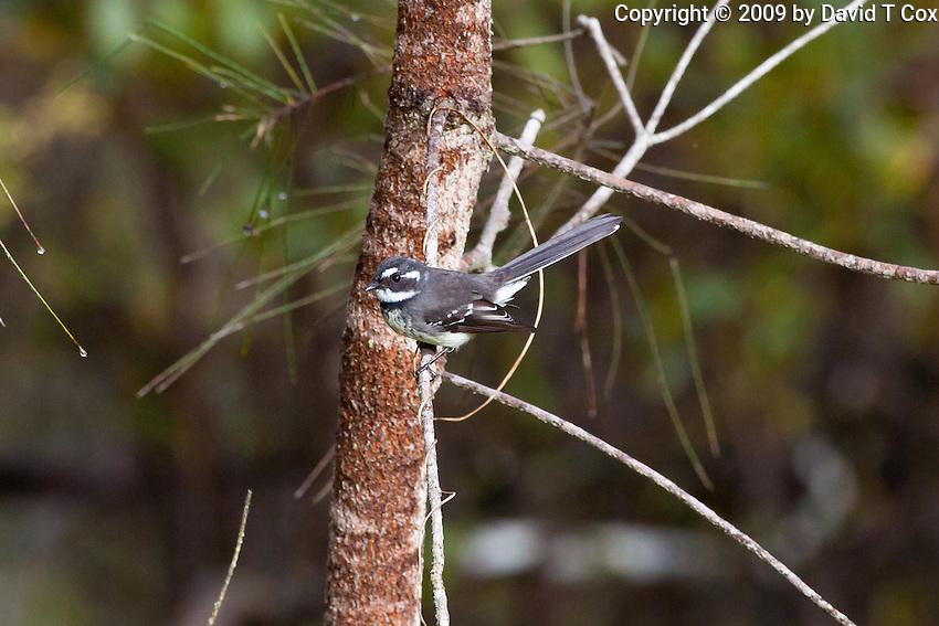 Grey Fantail, Wooli, NSW, Australia