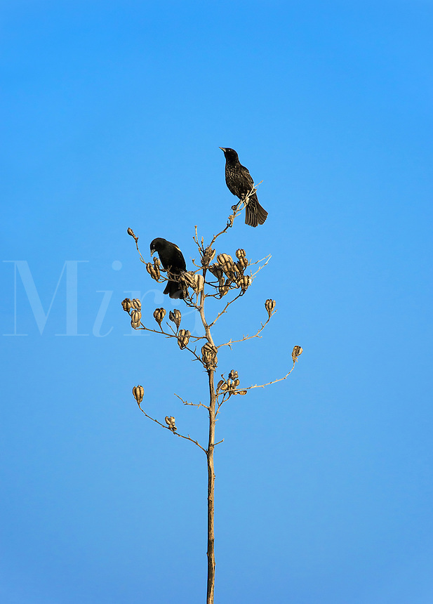 Two blackbirds on a dried plant, Delaware, USA