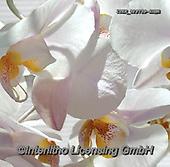 Isabella, FLOWERS, BLUMEN, FLORES, paintings+++++,ITKE029759-SLWK,#f#, EVERYDAY