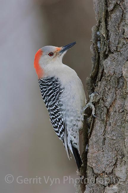 Adult female Red-bellied Woodpecker (Melanerpes carolinus). Tompkins County, New York. February.