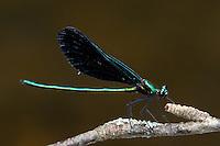 Ebony Jewelwing (Calopteryx maculata) Damselfly - Male, Swift River Reservation, Petersham, Worcester County, Massachusetts