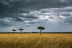 A fast moving storm passes over the dry savannah of Kenya's Masai Mara country.  As the annual rains  return to this parched landscape the beige grasses are miraculously transformed into luxuriant green.  Shortly thereafter millions of wildebeests, zebras, and gazelles move north out of the vast Serengeti Plains, following the sweet smell of new grass.
