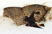 Adult cliff swallow flying by nest