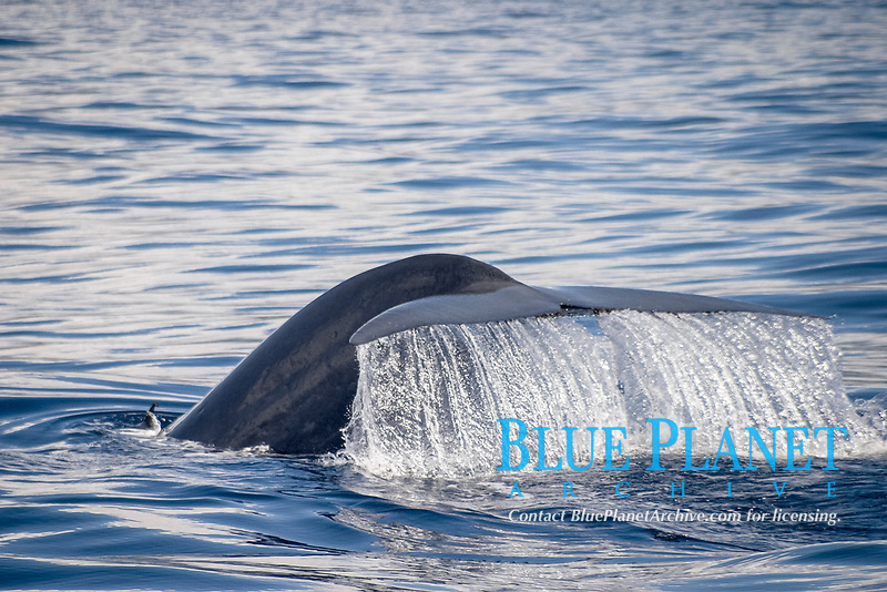 blue whale, Balaenoptera musculus, Azores Islands, Portugal, North Atlantic