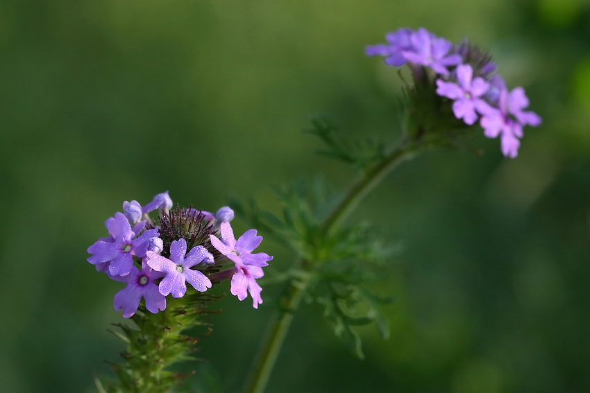 """The Verbena Wildflower has gently rounded clusters of bilaterally symmetrical pink, lavender, or purple flowers bloom atop stems with highly divided leaves. The Spanish name, Moradilla, comes from morado (""""purple"""") and means """"little purple one."""""""