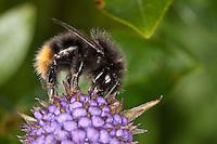 Steinhummel, Stein-Hummel, Bombus lapidarius, Pyrobombus lapidarius, Aombus lapidarius, Weibchen beim Blütenbesuch, Nektarsuche, Bestäubung, red-tailed bumble bee