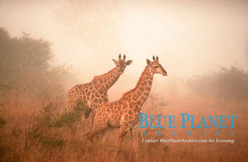 Giraffes in morning haze, Kruger national park, South Africa / (Giraffa camelopardalis)