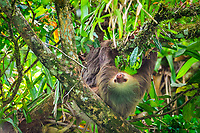 Hoffmann's two-toed sloth, Choloepus hoffmanni, Selva Verde Nature Reserve, Rio Sarapiqui, Heredia, Costa Rica