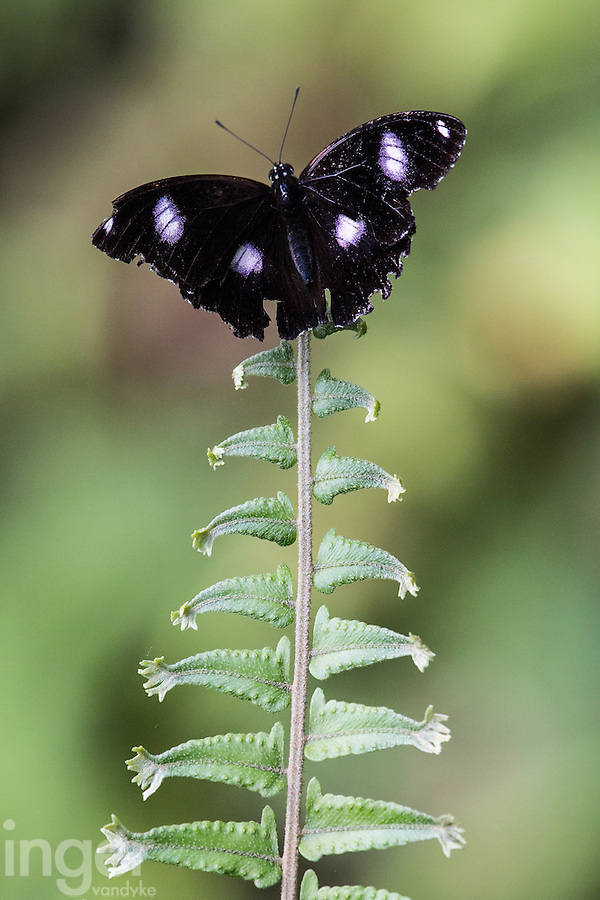 Common Eggfly Butterfly on Fern Frond