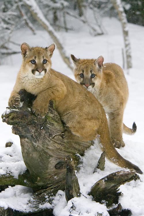 Puma kittens on a tree stump in the falling snow - CA