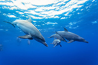 Indo-Pacific bottlenose dolphin, Tursiops aduncus, Chichi-jima, Bonin Islands, Ogasawara Islands, Japan, Pacific Ocean