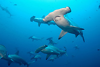 Hammerhead sharks, schooling, Wolf Island, Galapagos, Ecuador, Sphyrna lewini, Galapagos, Ecuador (E. Pacific Ocean)