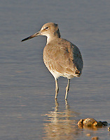 Adult willet in non-breeding plumage