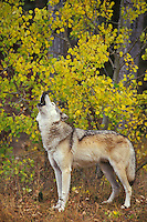 Gray wolf or timber wolf howling (Canis lupus).  Western U.S.