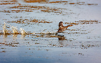 Pied-billed Grebe making a long running and flapping start on water to take off in flight